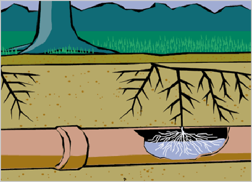 Sewer Line Root Intrusion